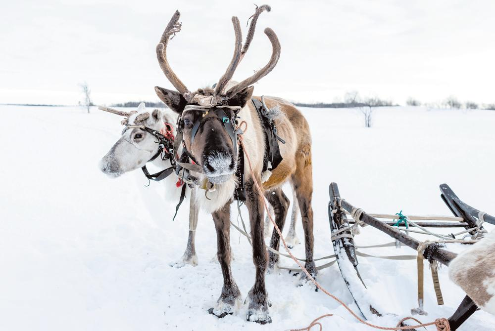 Sami culture and reindeer sledding excursion in Tromso Norway