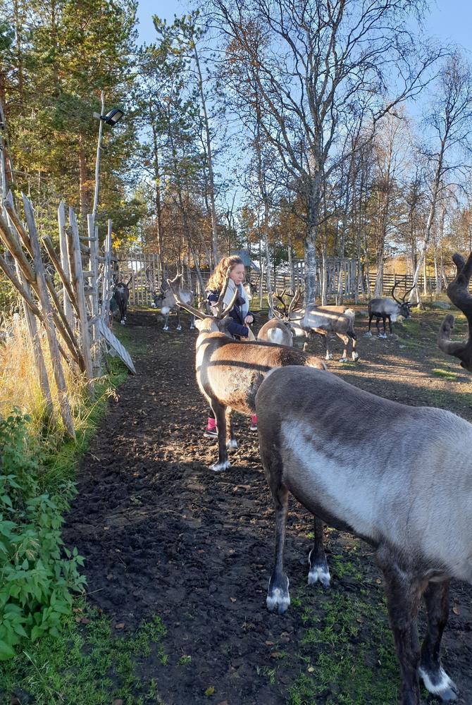 Reindeer in Kiruna