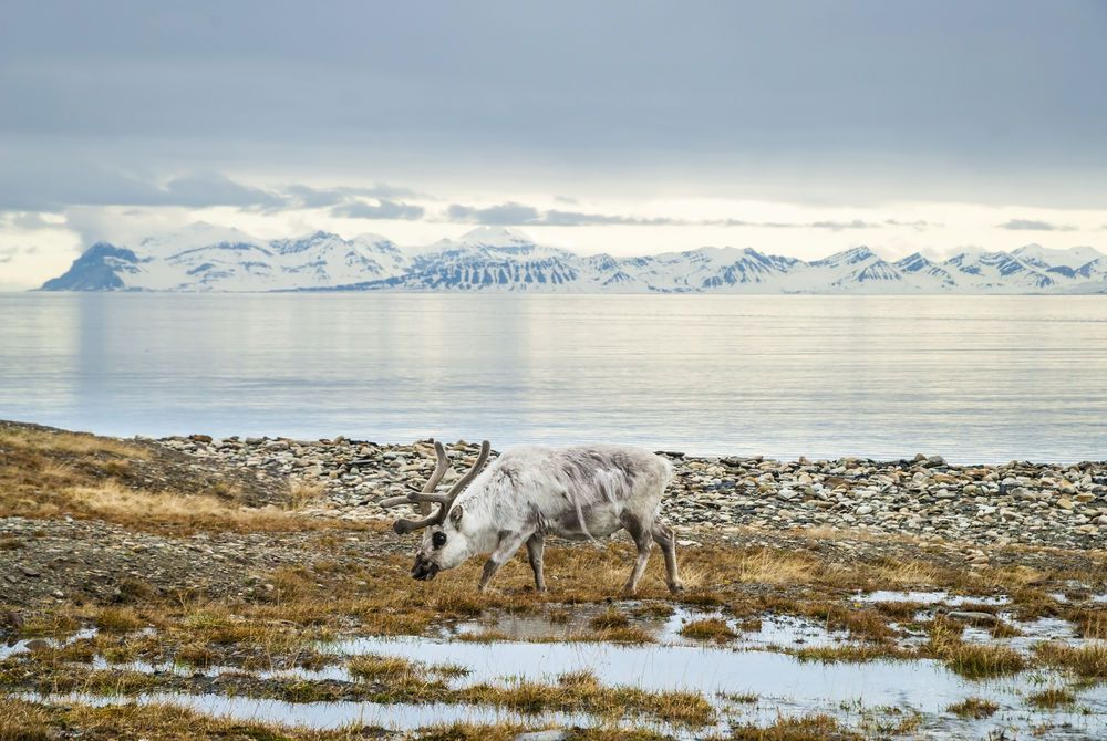 Reindeer in Svalbard, Norway