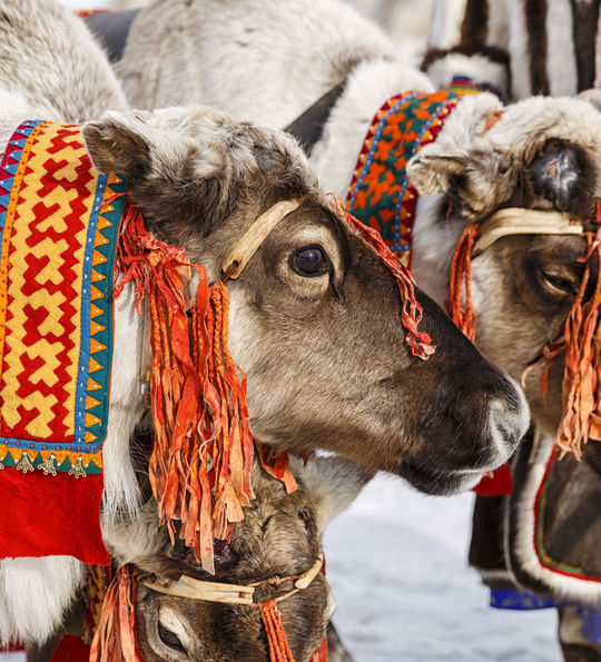 Reindeer in traditional Sami bridles