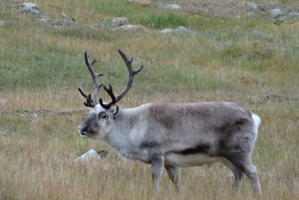 Reindeer near Longyearbyen, Svalbard, Stuart W Harris, Hurtigrute