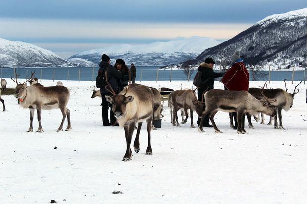 Reindeer near Tromso