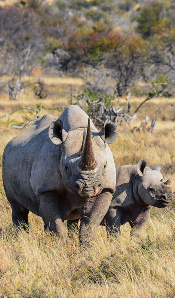Rhinos, Eastern Cape, South Africa