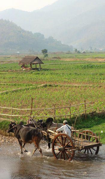 Ricefields, Bagan, Myanmar, Burma