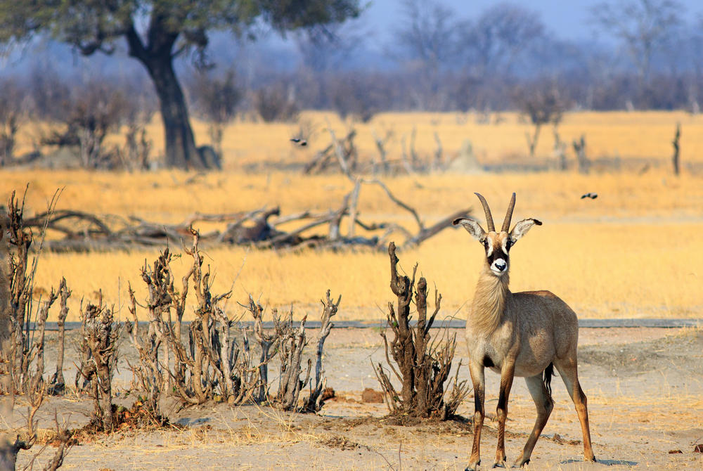 Roan, Hwange National Park