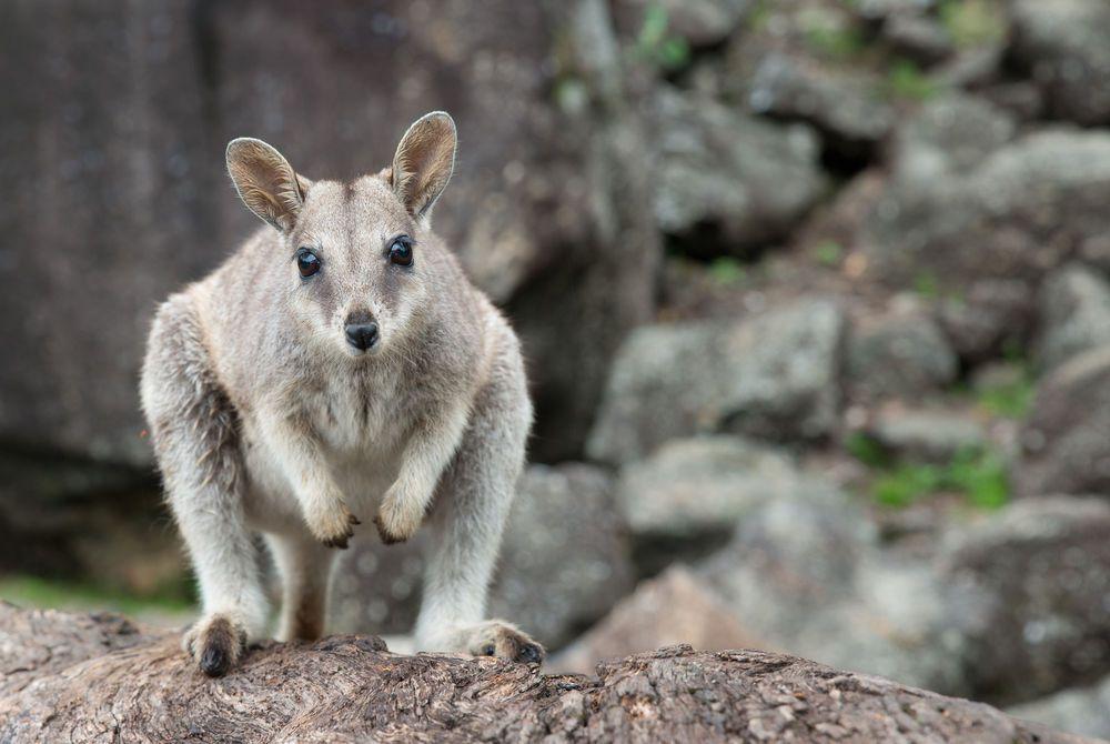 Rock Wallaby, Atherton Tablelands, Queensland