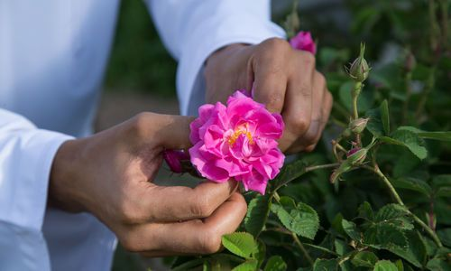 Rose Season in Oman