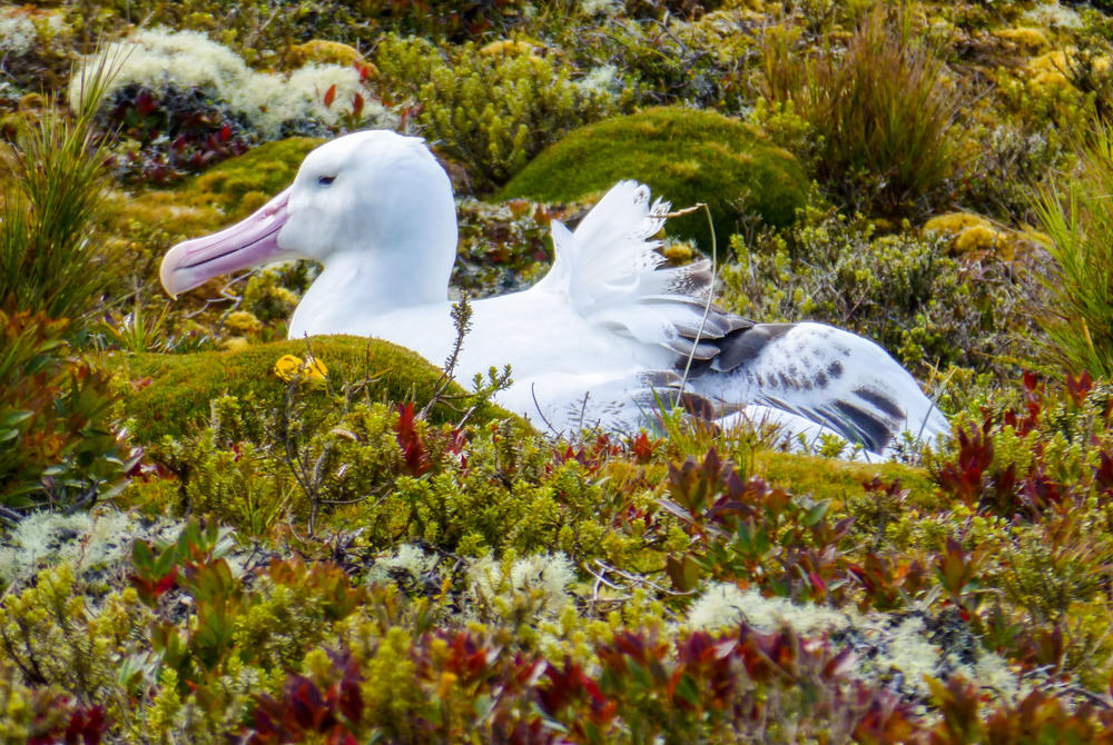 Royal albatross on Enderby Island