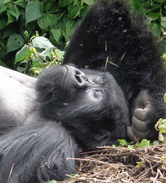 A sleeping silverback in Volcanoes National Park