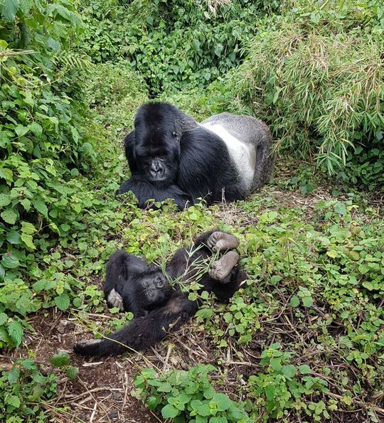 A Silverback and baby gorilla in Volcanoes National Park