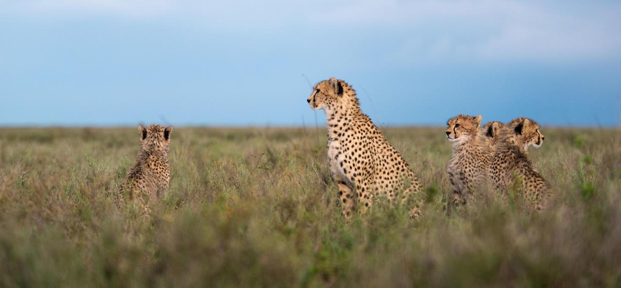 Cheetahs, Sanctuary Kusini, Tanzania