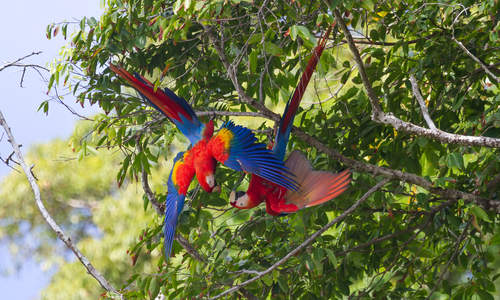 Scarlet Macaw Couple, Osa Peninsula