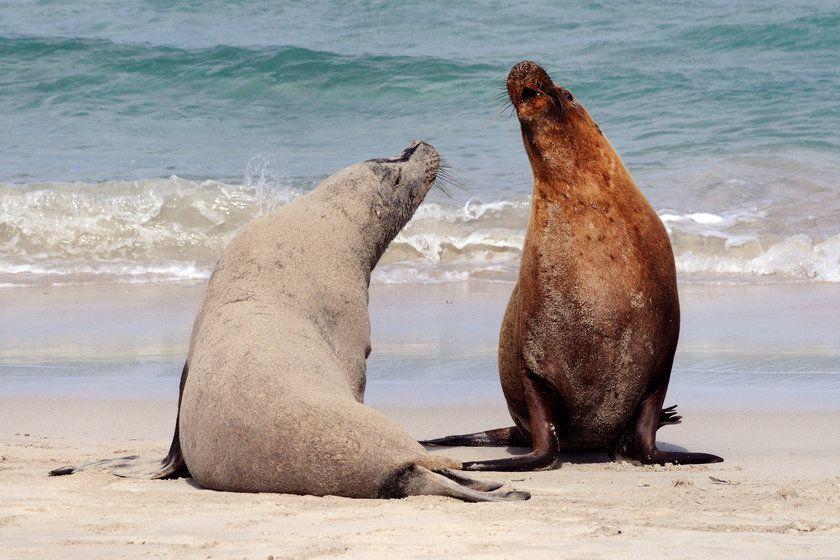 Sea Lions, Kangaroo Island