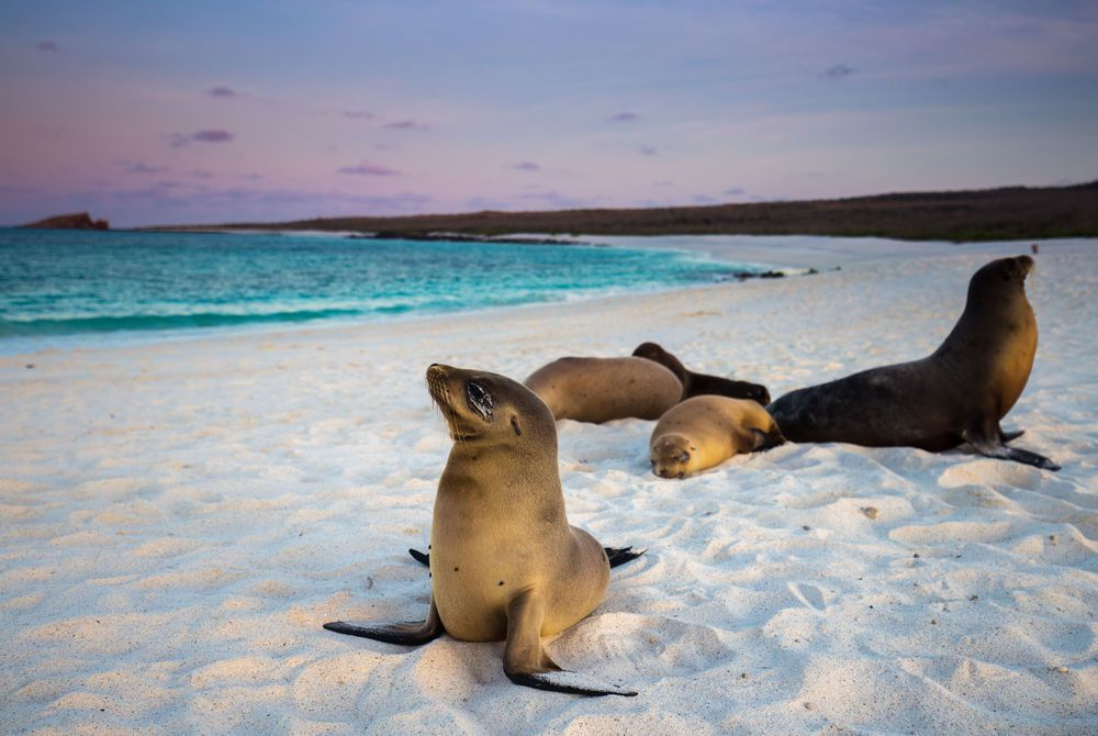 Sea Lions in the Galapagos at sunset
