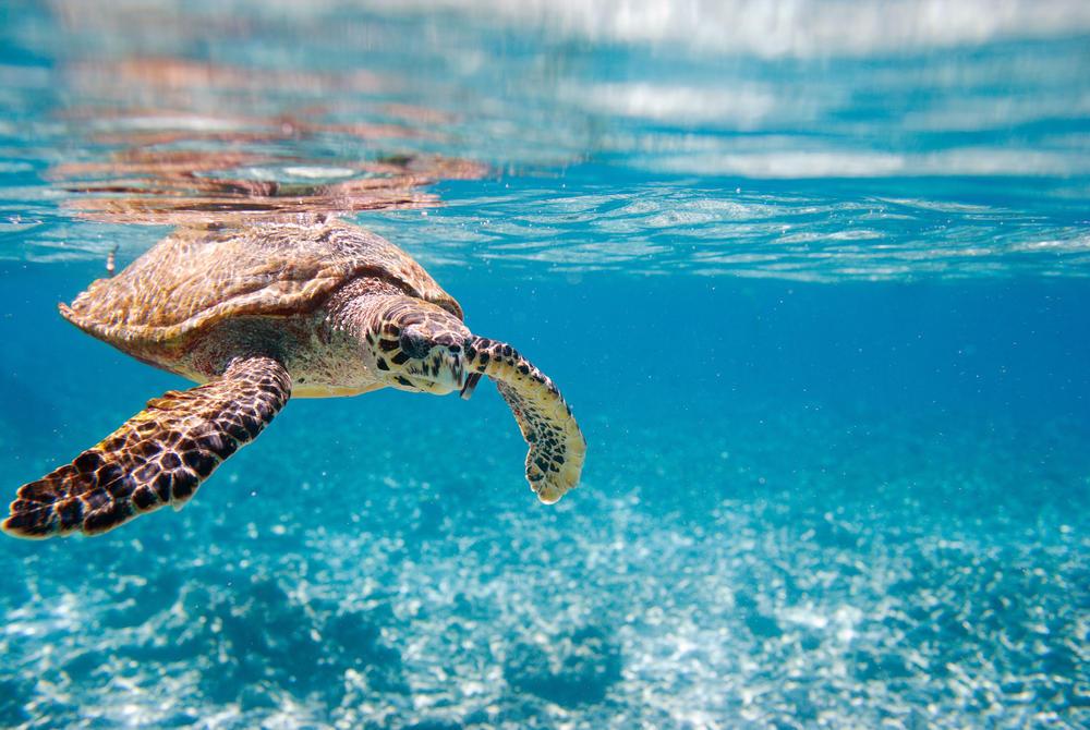 Sea turtle, Seychelles