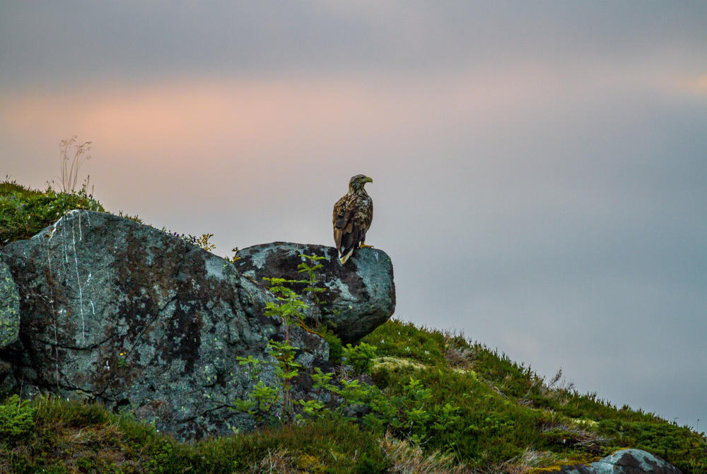Sea Eagle perched on a rock in the Lofoten Islands