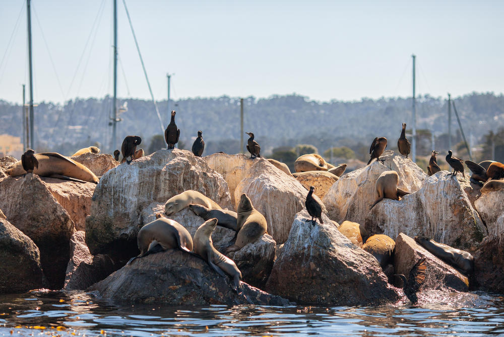 Sea lions and birds reclining on the rocks at Monterey, California