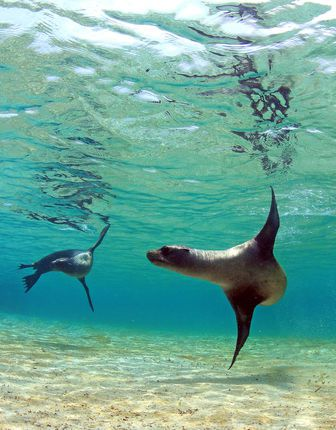 Sea lions in a tidal lagoon in the Galapagos off Ecuador