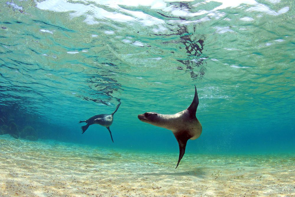 Sea lions in a tidal lagoon in the Galapagos