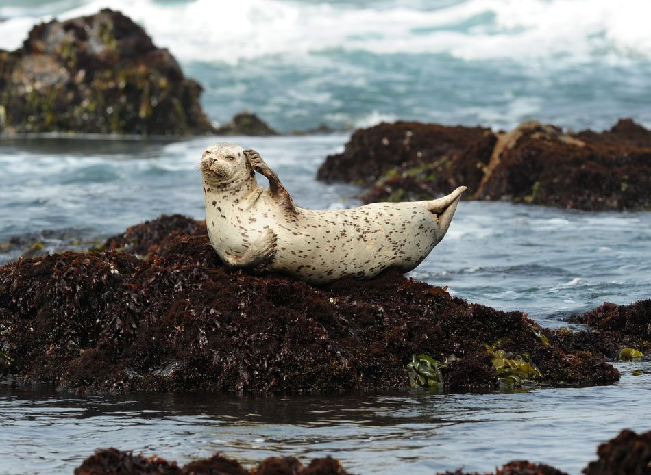 Harbour seal on a rock