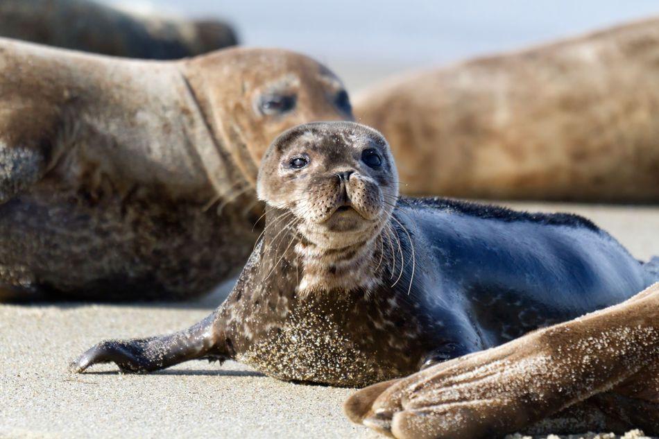 Californian baby seal
