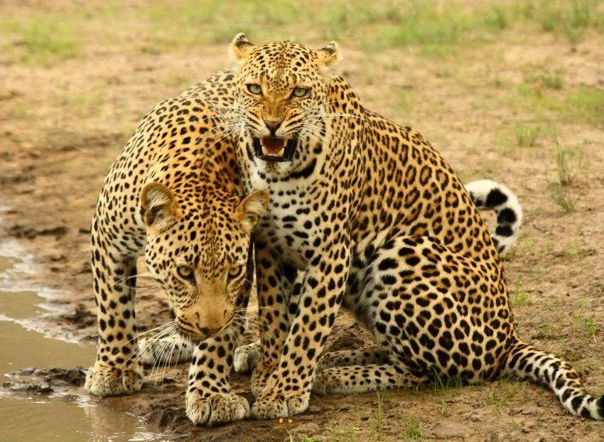Leopard, Shumbalala Game Lodge