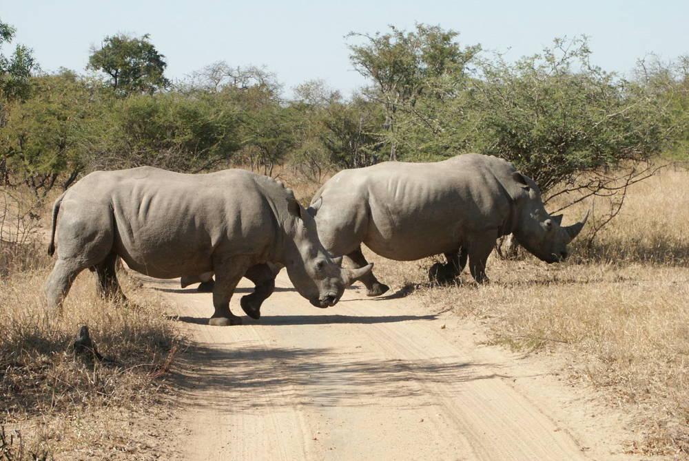 Rhino, Shumbalala Game Lodge