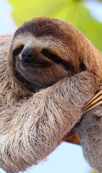 Sloth in the Peruvian Amazon