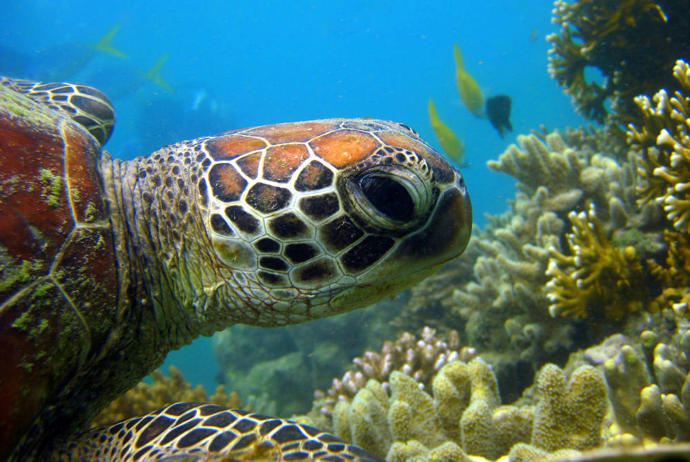 Snorkelling with turtles, the Whitsundays