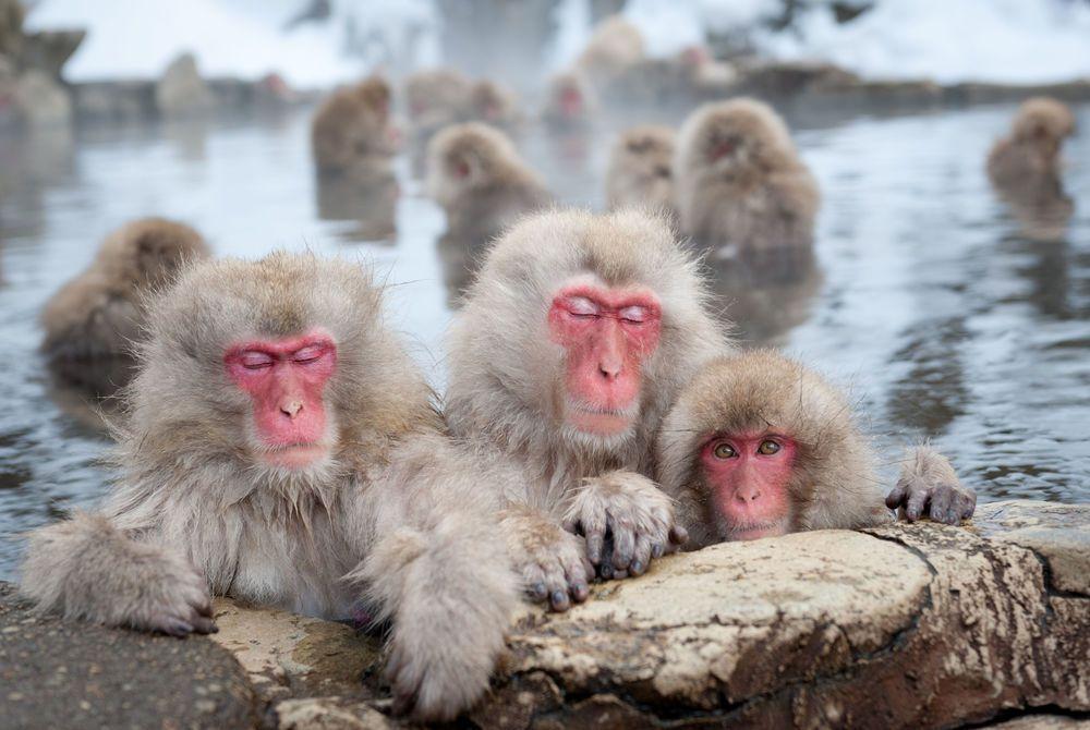 Snow Monkey, Jigokudani Hotspring, Japan