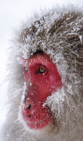 Snow monkey with red face from the Japanese Alps
