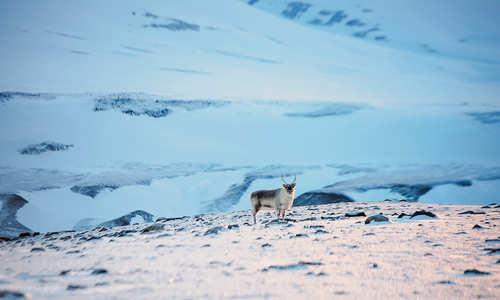 Reindeer (Credit: Agurtxane Concellon/Hurtigruten Svalbard)