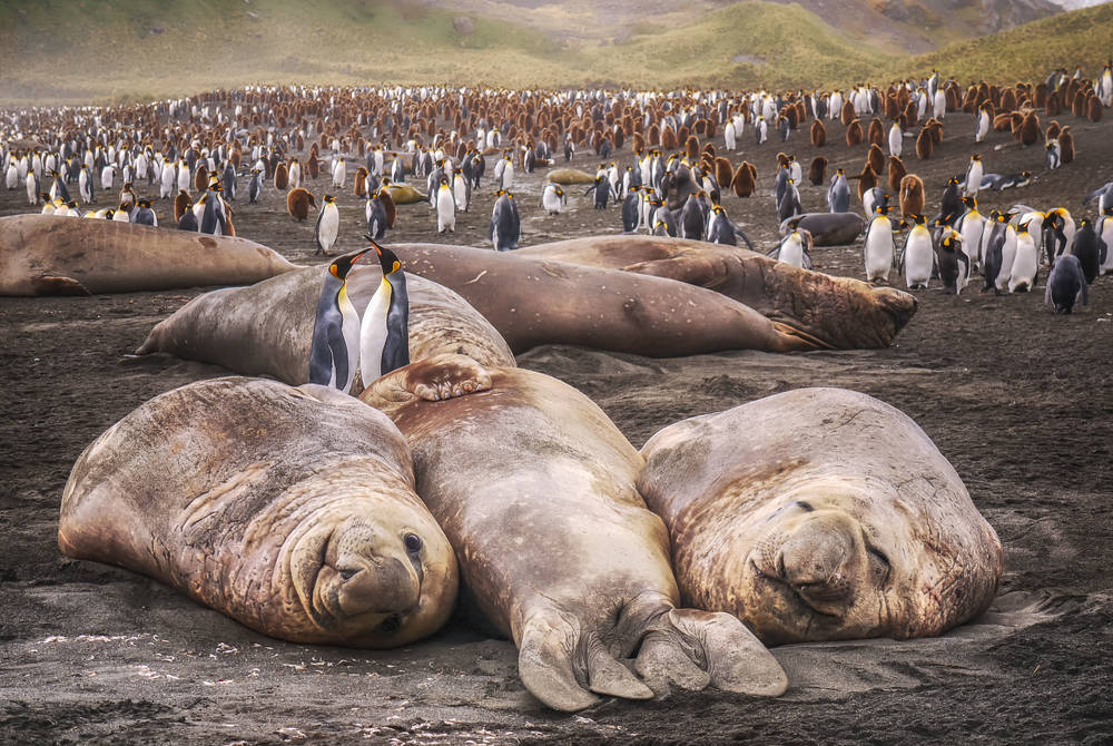 Seals, South Georgia, Antarctic
