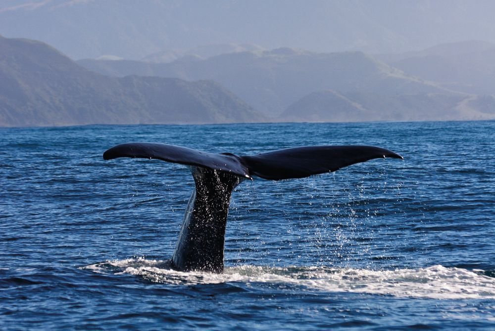 Sperm Whale, Kaikoura. South Island, New Zealand