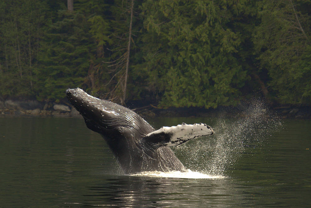 Humpback whale, Spirit Bear Lodge