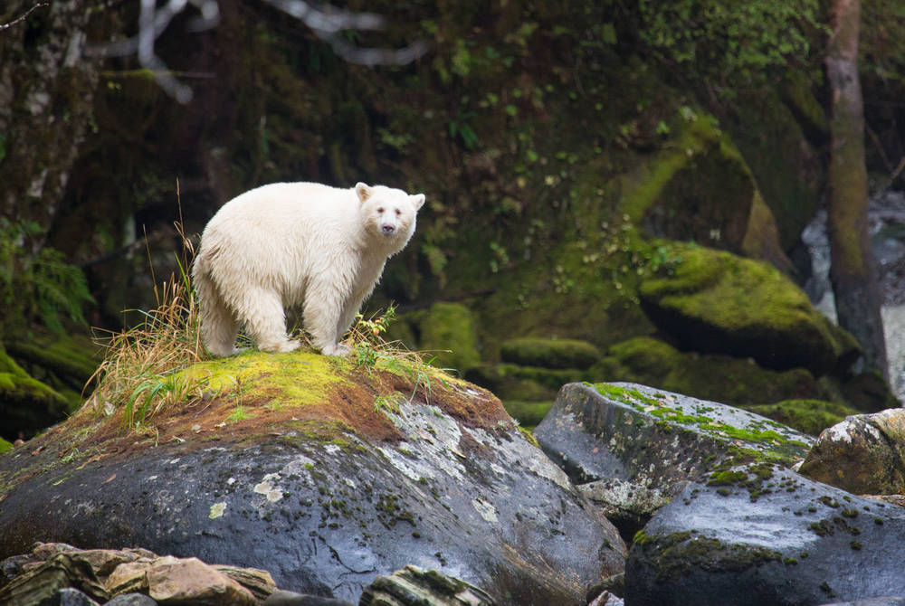 Spirit bear, Spirit Bear Lodge