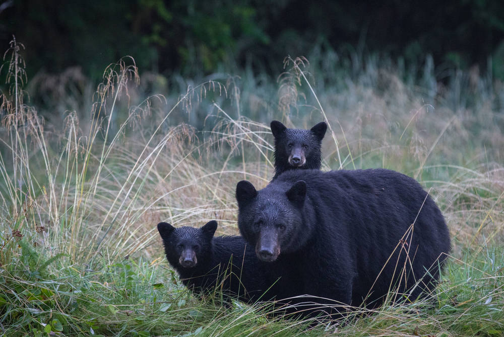 Black bears, Spirit Bear Lodge, British Columbia, Canada