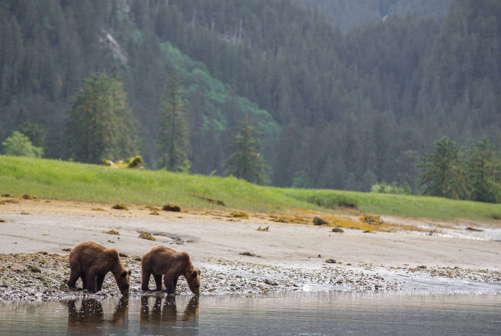 Grizzly bears, Spirit Bear Lodge, British Columbia, Canada