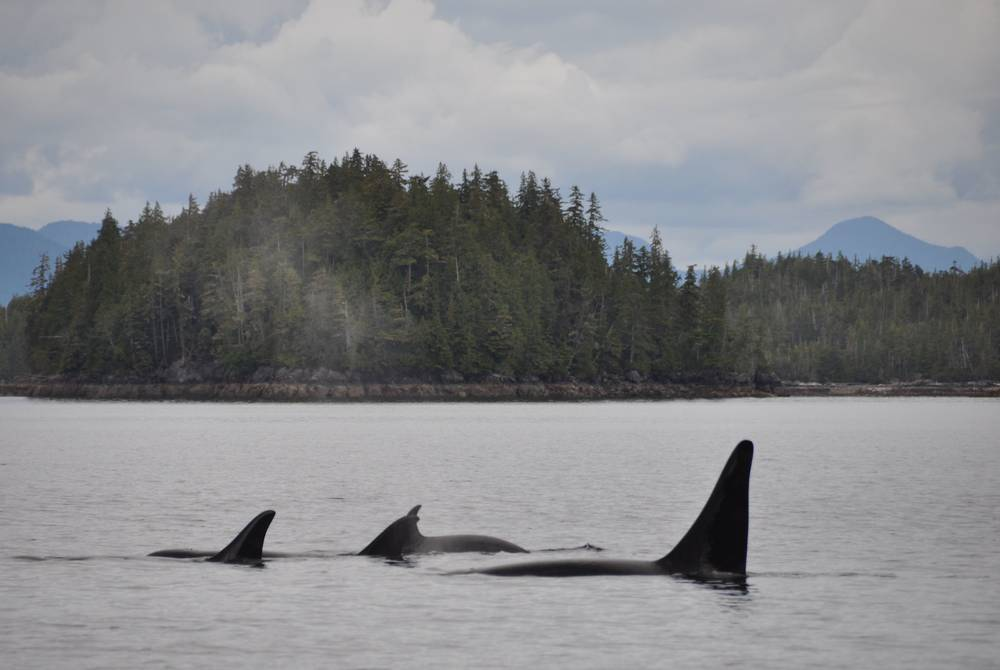 Orca, Spirit Bear Lodge, British Columbia, Canada