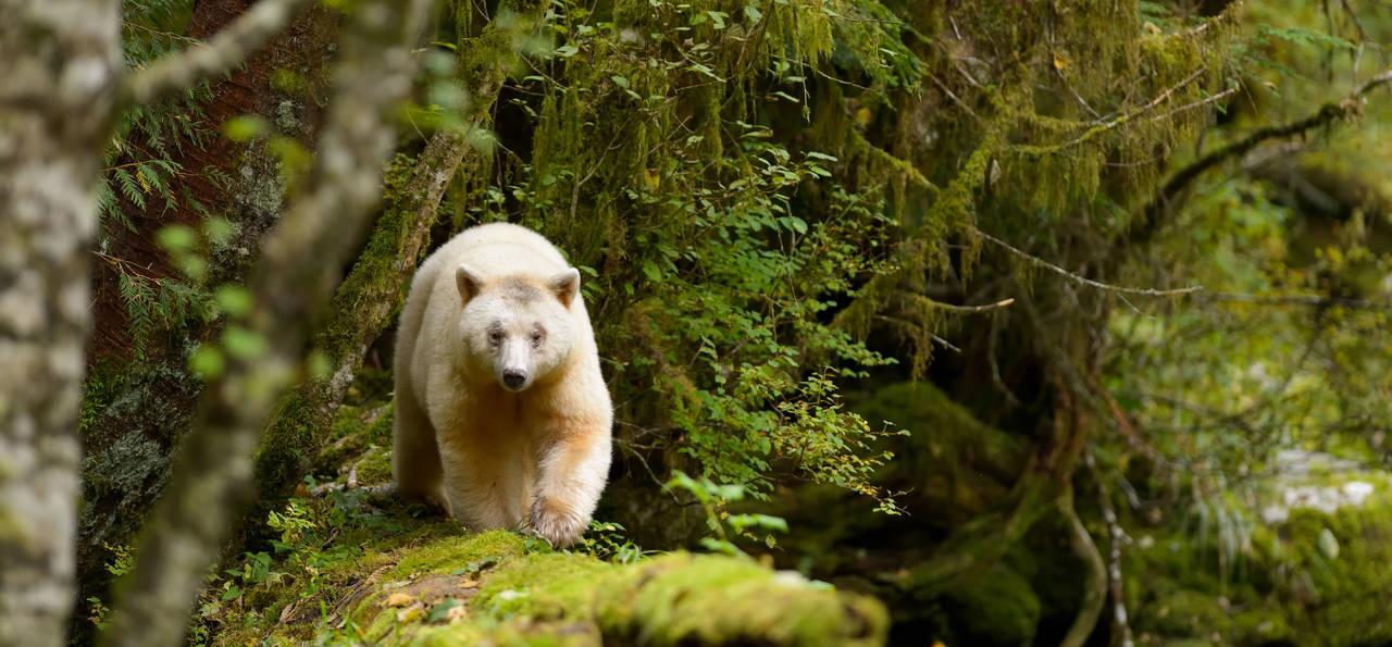 Spirit Bear walking along a long