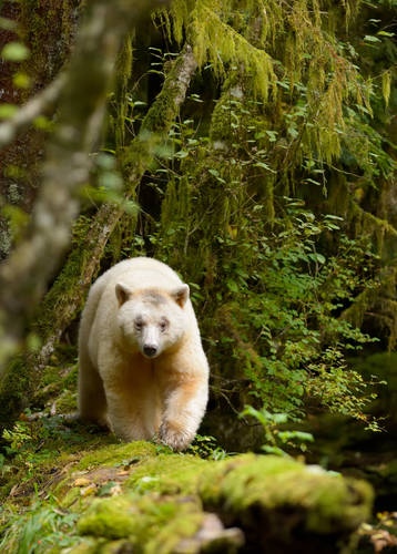 Spirit Bear walking along a long