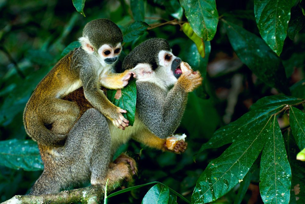 Squirrel Monkey, Peruvian Amazon