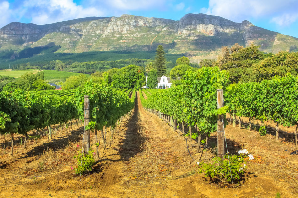Vineyard in Stellenbosch with an estate and mountain range in the background