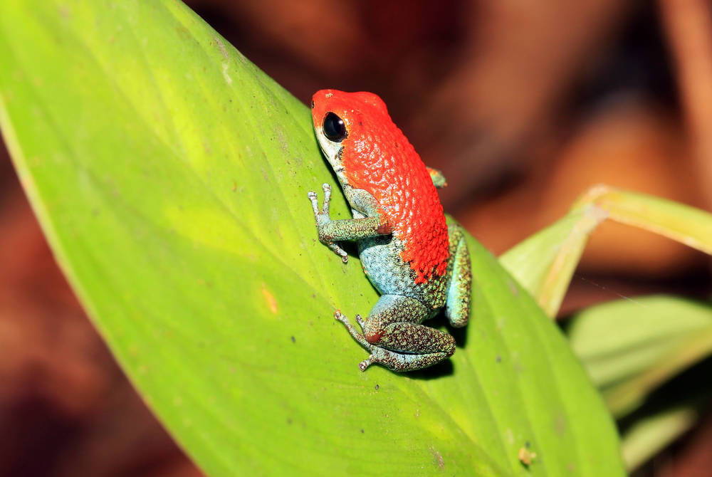 Strawberry Poison-Dart Frog, Osa Peninsula