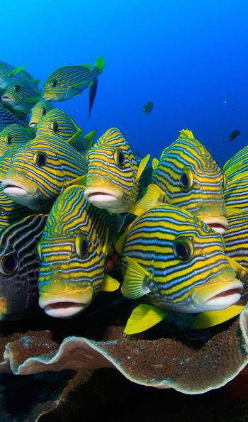 Sweetlips fish, Indonesia