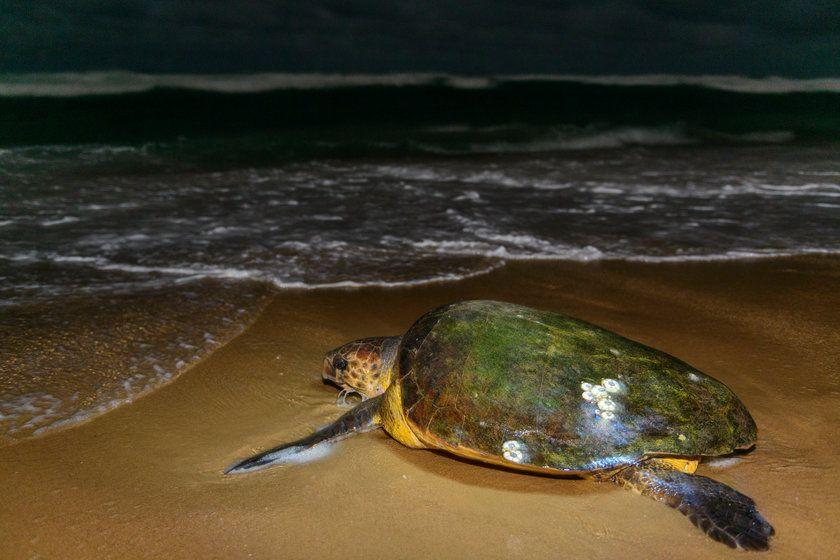 Turtle, Thonga Beach Lodge, South Africa