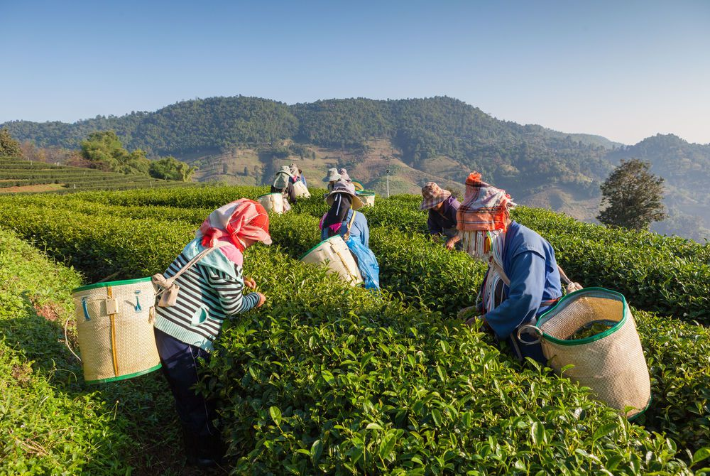 Tea Picking, Munnar, Kerala