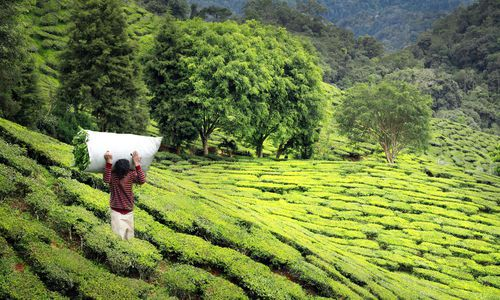 Tea Plantation, Darjeeling