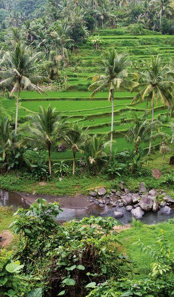 Terraced rice fields, Ubud