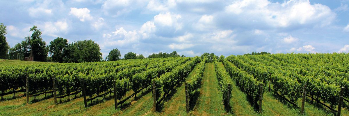 Niagara-on-the-Lake vineyard